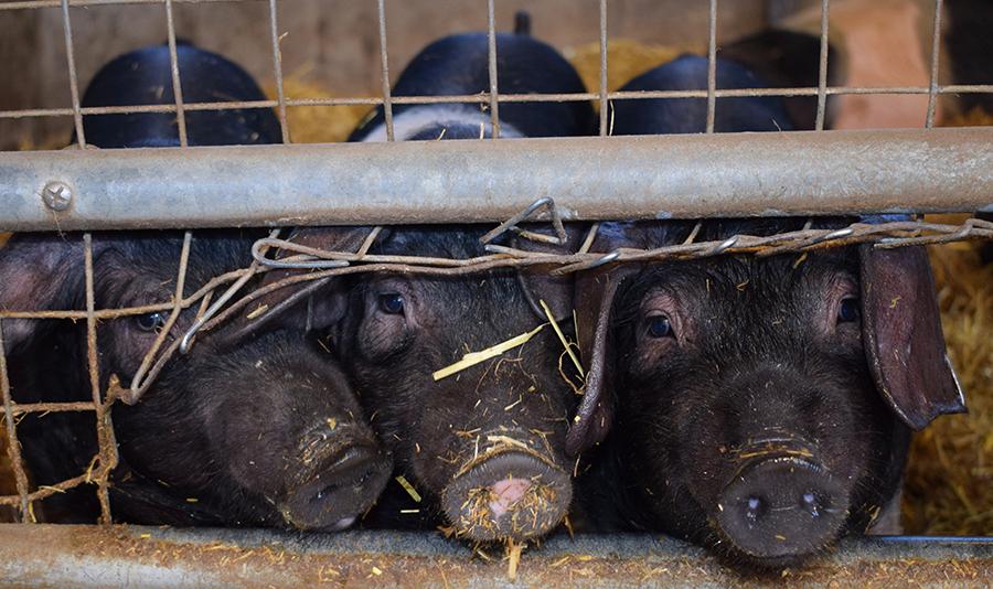 Tres cerdos en una granja